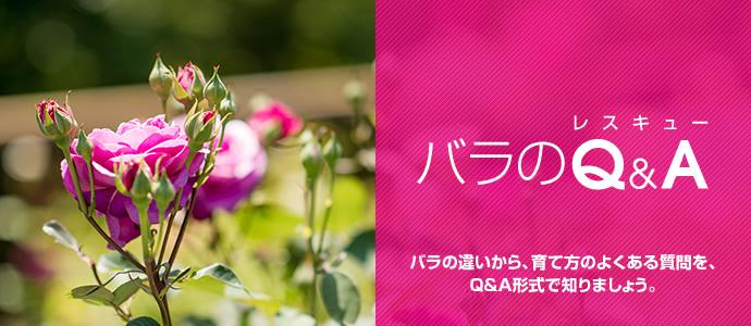 バラの育て方を、Q&A形式で解説します