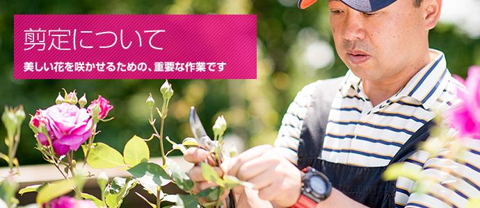 バラの剪定のコツとツボ。残したい若い枝に養分を集中させましょう
