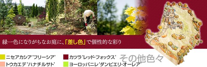 ニセアカシア「フリーシア」、カツラ「レッドフォックス」…緑一色になりがちなお庭に、差し色を