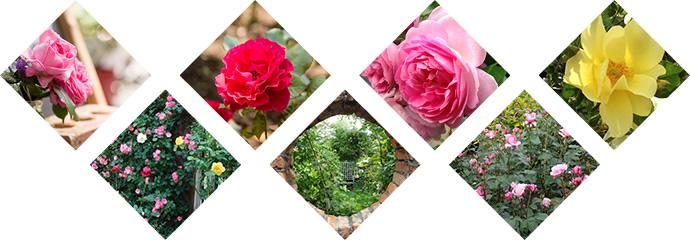PLANTSで美しいバラを